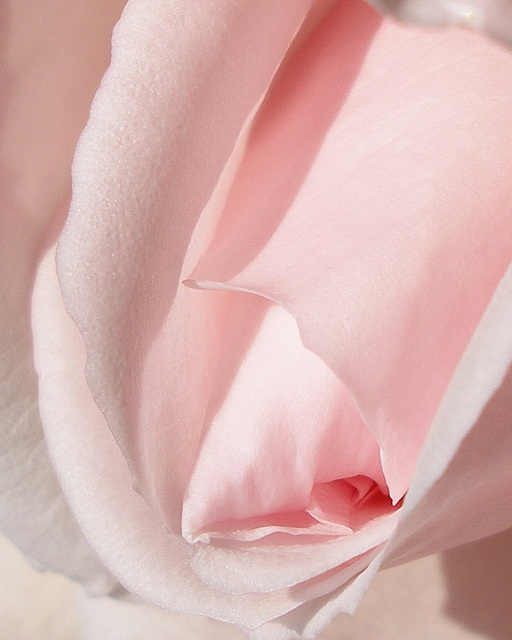 A Dream of Soft Petals