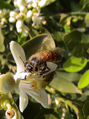 Bee on Citrus sinensis