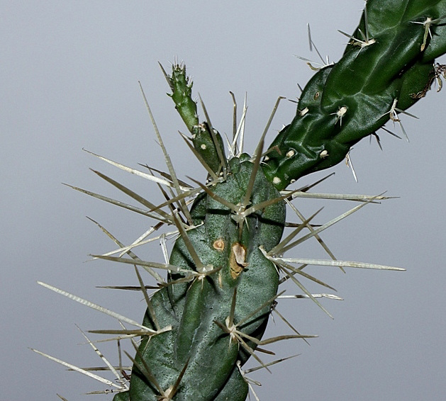 Opuntia rosea (2)