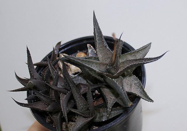 Haworthia tesselata en sortie d'hiver