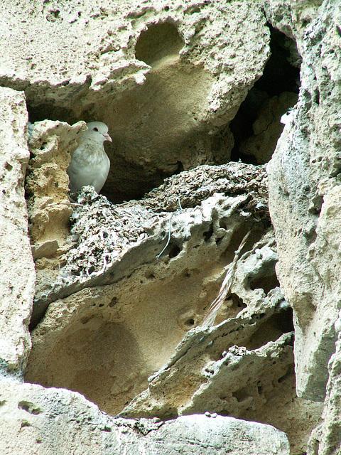 Taube in der Höhle