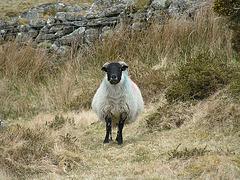 Dartmoor - Schaf