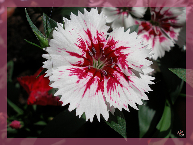 Bartnelke -Sweet William