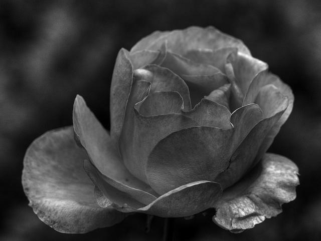 Rose 1 (B&W)