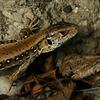 Lizard (detail)