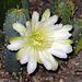 Cereus (1015)