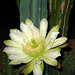 Cereus (1017)