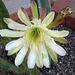 Cereus (1019)