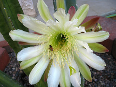 Cereus (1020)