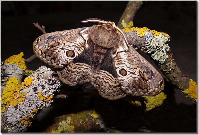 Brahmaea europaea - mâle.