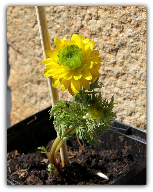 Adonis amurensis  flore pleno