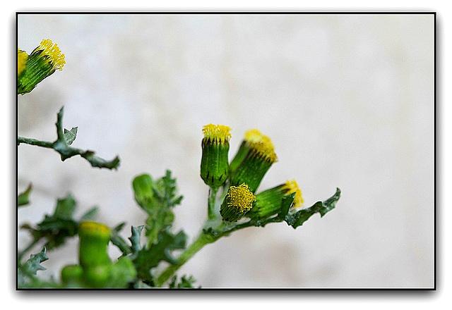 Séneçon commun - Senecio vulgaris  (6)