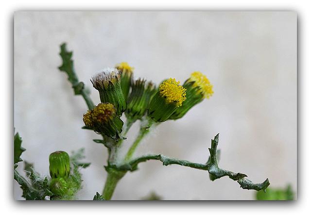 Séneçon commun - Senecio vulgaris  (7)