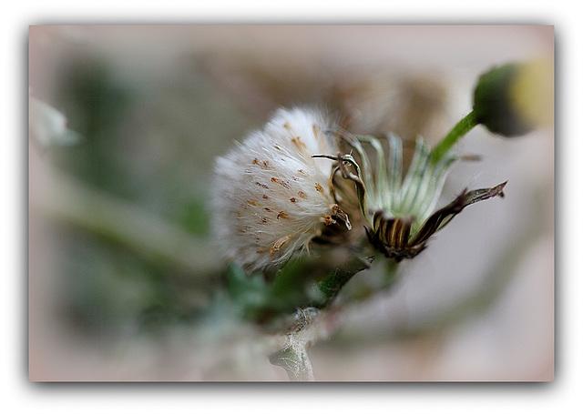 Séneçon commun - Senecio vulgaris  (10)