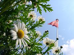 Daisy with flag of Hamburg