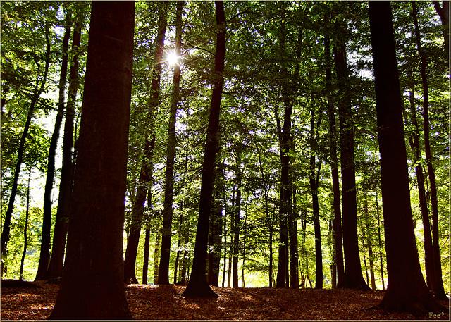 Waldesleuchten