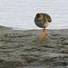 Austernfischer 2