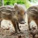 Sweet little *Piglet *