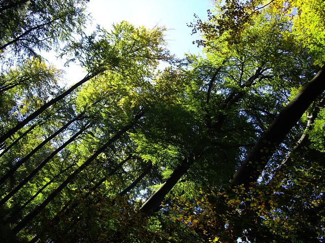Buchen im Deister /beech trees in the autumn sun