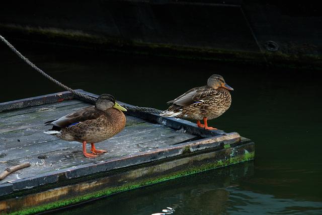 More Ducks (Wormerveer, Netherlands)