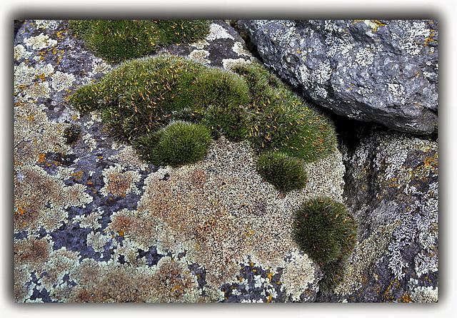 Mousse Grimmia- Lichen Lecanora