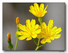 Sonchus - Tolpis lacinata