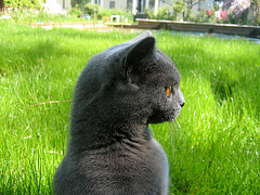 """Le chat Vicky : """"Bleu Russe"""""""