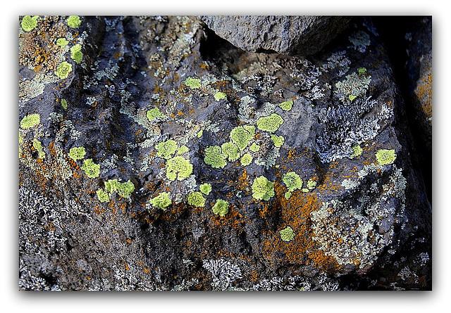 Lichen= Rhizocarpon