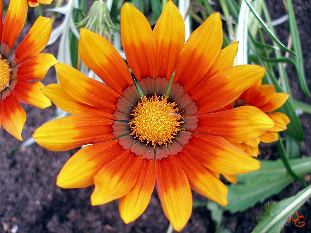 3 - colored Gazania