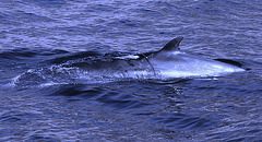 Sea of Sesimbra, juvenile Minke Whale trapped by a fishing net (1)