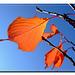 Herbstblätter eines Tulpenbäumchen's