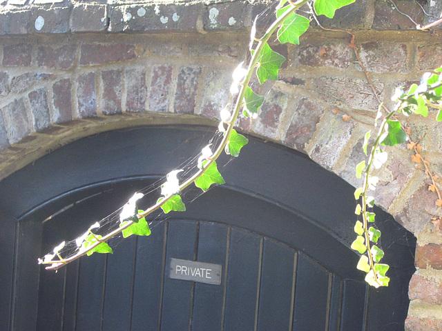 Pennshurst ivy
