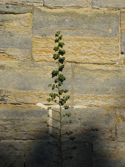 Pennshurst church ivy