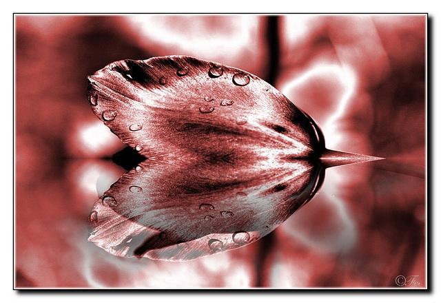 Bordeaux Tulip