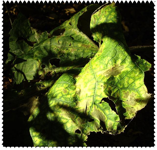 welkes Blatt / limp leaf in forest