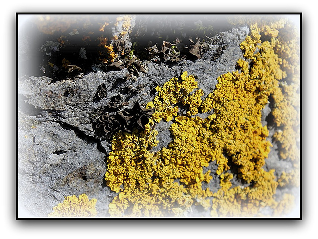 Lichens Dont un Collema noir