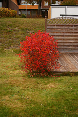 Red bush