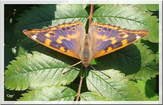 Apatura ilia f. clytie (mâle).