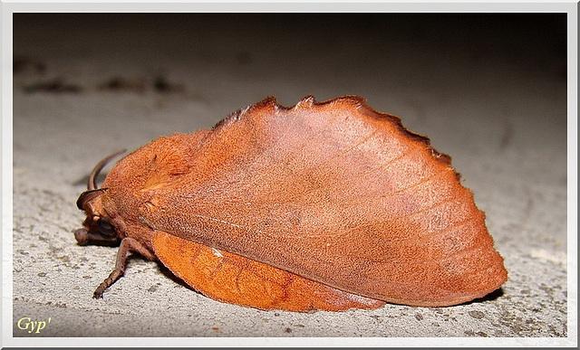 Gostropacha quercifolia