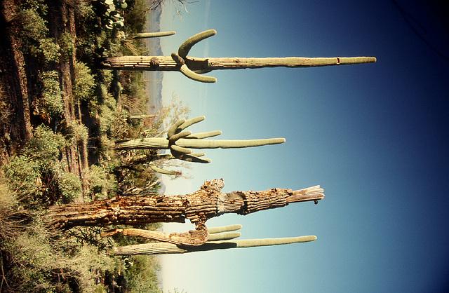 Saguaros - Original (03990003)