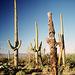 Saguaros (03990003)