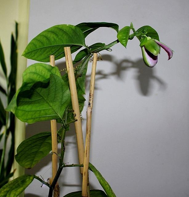 Passiflora x alata