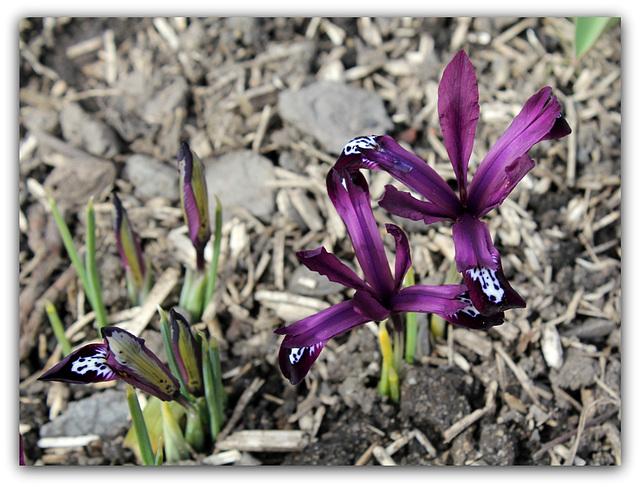 Iris reticulata ' Pauline '