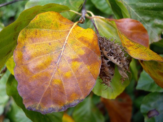 Süntelbuche im Herbst
