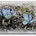 Iris x histrioïdes ( ' Katherine Hodgkins' )