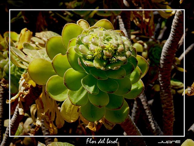 flor del berol