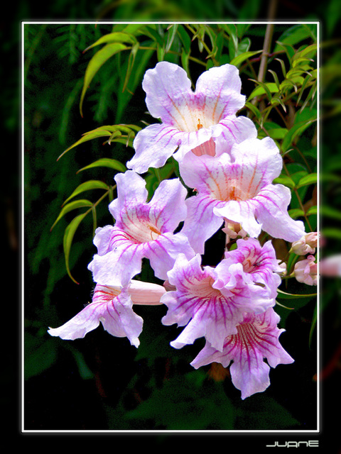 Bignonia rosada, Arbusto de Pandora