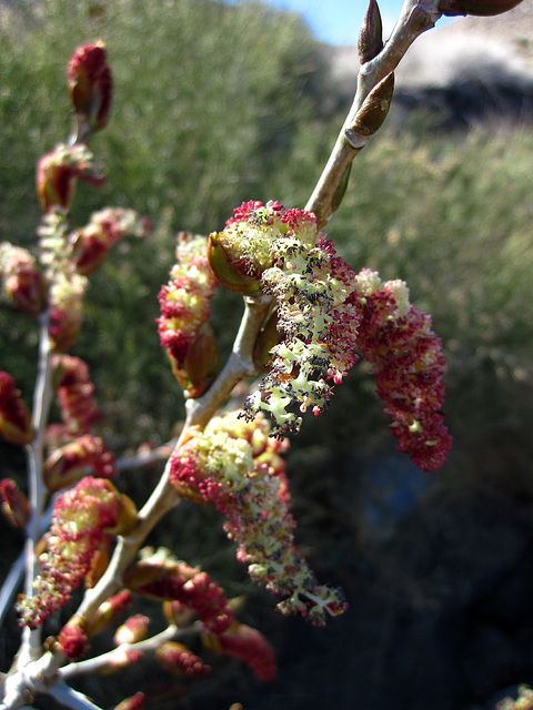Flowering Tree At Cabin In Striped Butte Valley (4293)