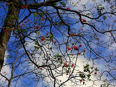 Amapola, Coral Tree, Erythrina poeppigiana