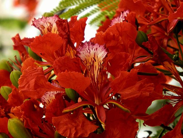 Flamboyant- Royal poinciana - Delonix regia